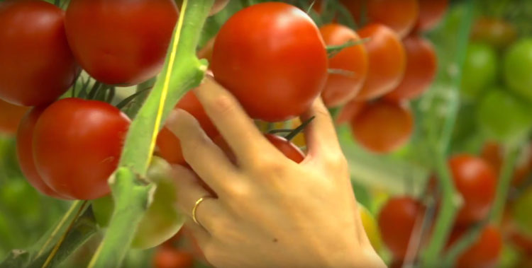 cultiver des tomates