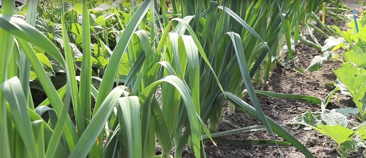 planter des poireaux