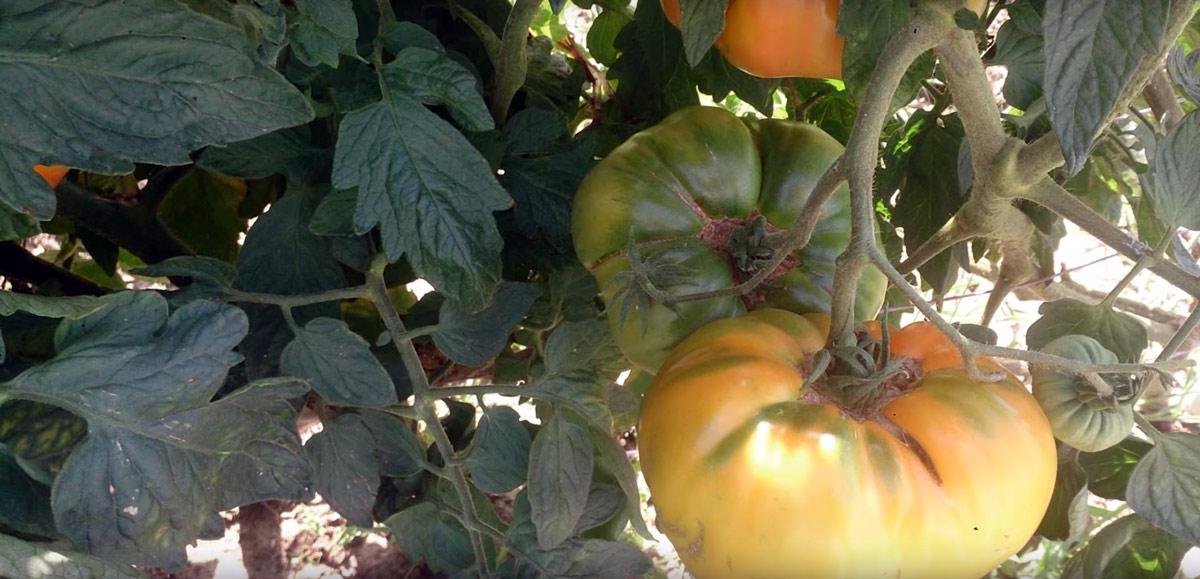 tomates jardin